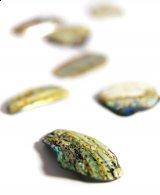אבאלון - צדף גודל רגיל