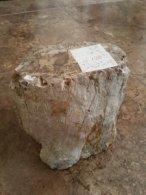 גזע עץ מאובן גדול - פטרופייד ווד