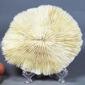 קורל שנהב פטרייה מושלמת משקל: 135 גרם